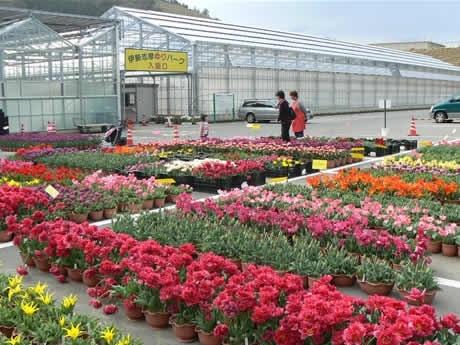 伊勢志摩ゆりパークオープン。手前の赤い花が八重咲きチューリップ「シャトー」パーク外の直売所。 The Iseshima lily park opened. 300,000 tulips in the park bloomed beautifully.