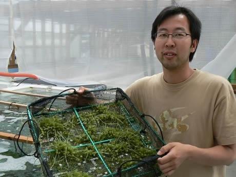 """本州最北の「海ぶどう」の養殖に成功した前田勉さん-前田真珠養殖施設にて--Cultivating """"Seaweed Grapes"""" in Ago bay, Shima"""