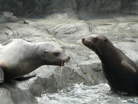 キスを求める「ロゼ」ちゃんに固まる「キンタ」君。鳥羽水族館にトドのカップル誕生。