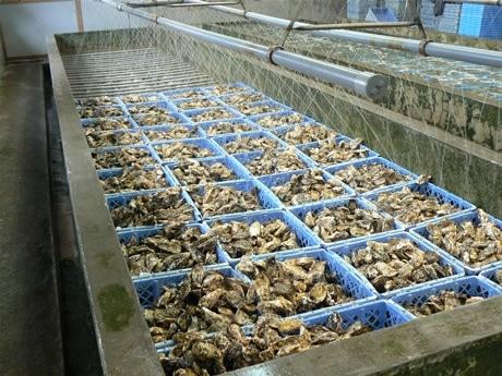 紫外線殺菌処理した海水を流し20時間以上の滅菌処理を行う「的矢かき」。シーズン中約180万個が出荷されるという。