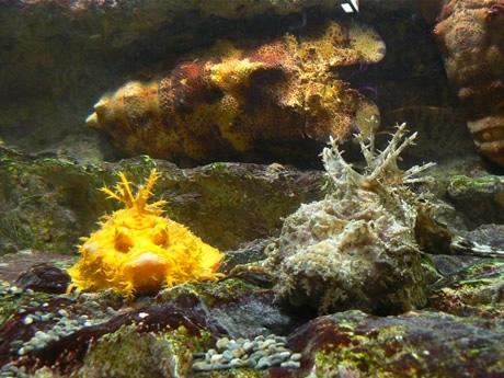 左が黄金のオニオコゼ、右が一般的なオニオコゼ。鮮やかな黄金色がよくわかる。後ろにはセミエビも。