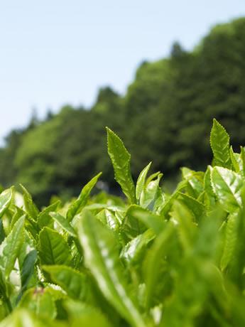 無農薬有機栽培の伊勢茶を作る「豊翠園」-五十鈴塾特別講座で見学
