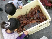 1日漁師体験で伊勢エビゲット-大好評「刺し網オーナー」今年も募集