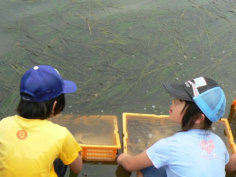 「アマモ場の再生を目指して」鳥羽と志摩の中学生らが地域を越えて交流会。写真は「海のゆりかご」アマモ場に稚魚を放流する子どもたち