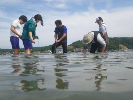 鳥羽の鏡浦中生徒が干潟にアマモを移植-ゴジラが初上陸した近くのコジラ浜で