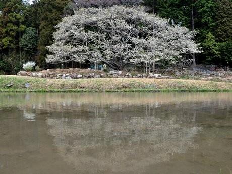 樹齢350年以上の志摩の一本桜「岩戸桜」三分咲き-早餅つきと抹茶の振る舞いも