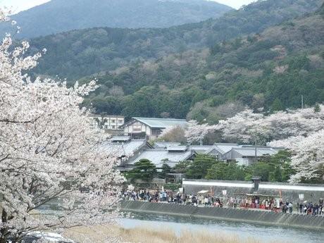 伊勢・五十鈴川で「桜まつり」-ライトアップされた桜を眺めながらクラシックコンサート(写真は昨年の様子)