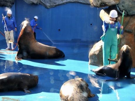 鳥羽水族館で年末恒例の大掃除-トドやアシカのいたずらではかどらず