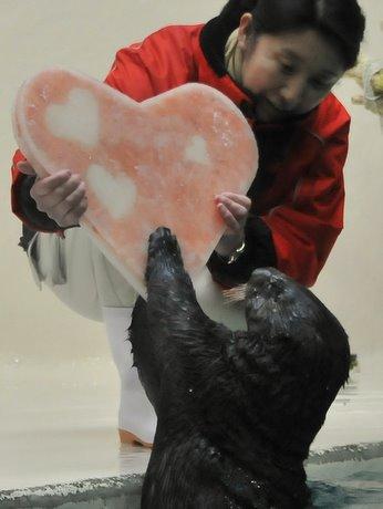 鳥羽水族館のラッコにピンクサーモン使ったハート形氷-バレンタインで
