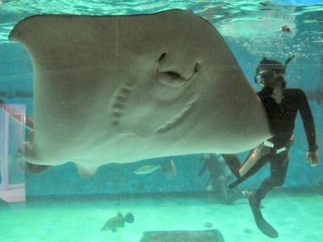 世界最大のホシエイ、飼育1万日達成ー志摩マリンランドで大きさを計測