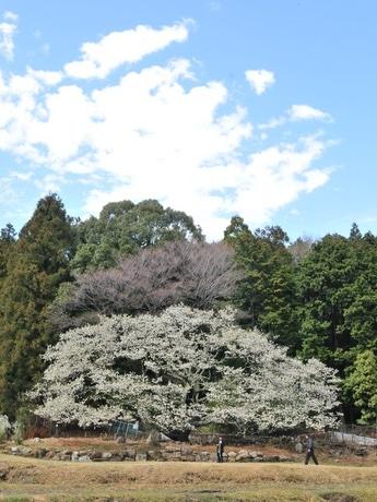 志摩の一本桜「岩戸桜」樹齢350年以上-今年も純白の花