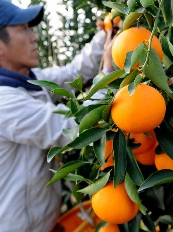 銀座千疋屋と南伊勢町の産直市場でしか買えない柑橘「せとか」、間もなく出荷