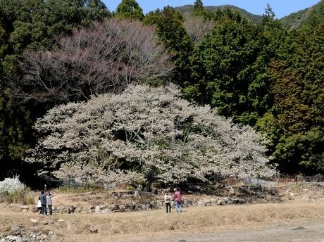 樹齢350年以上志摩の一本桜「岩戸桜」ほぼ満開に-人里離れた地に人々集める