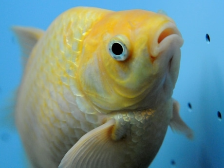 「ピラルクーから逃げ延びた金魚」志摩マリンランドの地下のろ過槽で見つかる