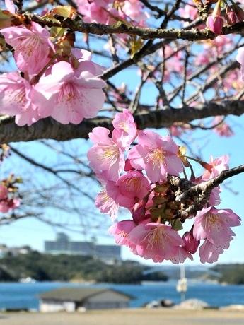 伊勢志摩サミット100日前 賢島のサクラ、「待てずに咲いちゃいました」サクラの奥には賢島大橋と志摩観光ホテルが見える。