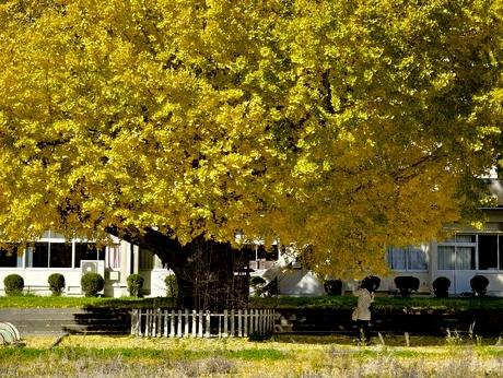 樹齢400年の大イチョウが黄金色に、南伊勢町の閉校した穂原小学校の校庭で