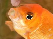 伊勢に「しゃべる金魚」「うったえる金魚」 うるさくて水槽を移動させる