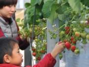 志摩で高級イチゴ「レッドパール」 収穫体験で食べ放題