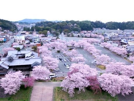 伊勢にサクラが美しい駐車場 約100本の桜満開、ドローンで俯瞰映像も