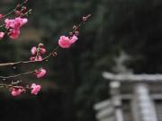 「ミキモト」創始者・御木本幸吉を陰で支えた妻・うめの墓前のウメ満開
