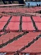 伊勢志摩の海岸沿いに、真新しいアオサ養殖の網一面に広がる