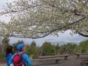 伊勢志摩最高峰・朝熊ケ岳頂上に咲く桜満開 トレッカーに癒やし