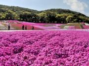 志摩市観光農園の7万株のシバザクラ満開