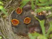 ホテル志摩スペイン村でハクセキレイが子育て 中庭・マーガレット鉢の中で