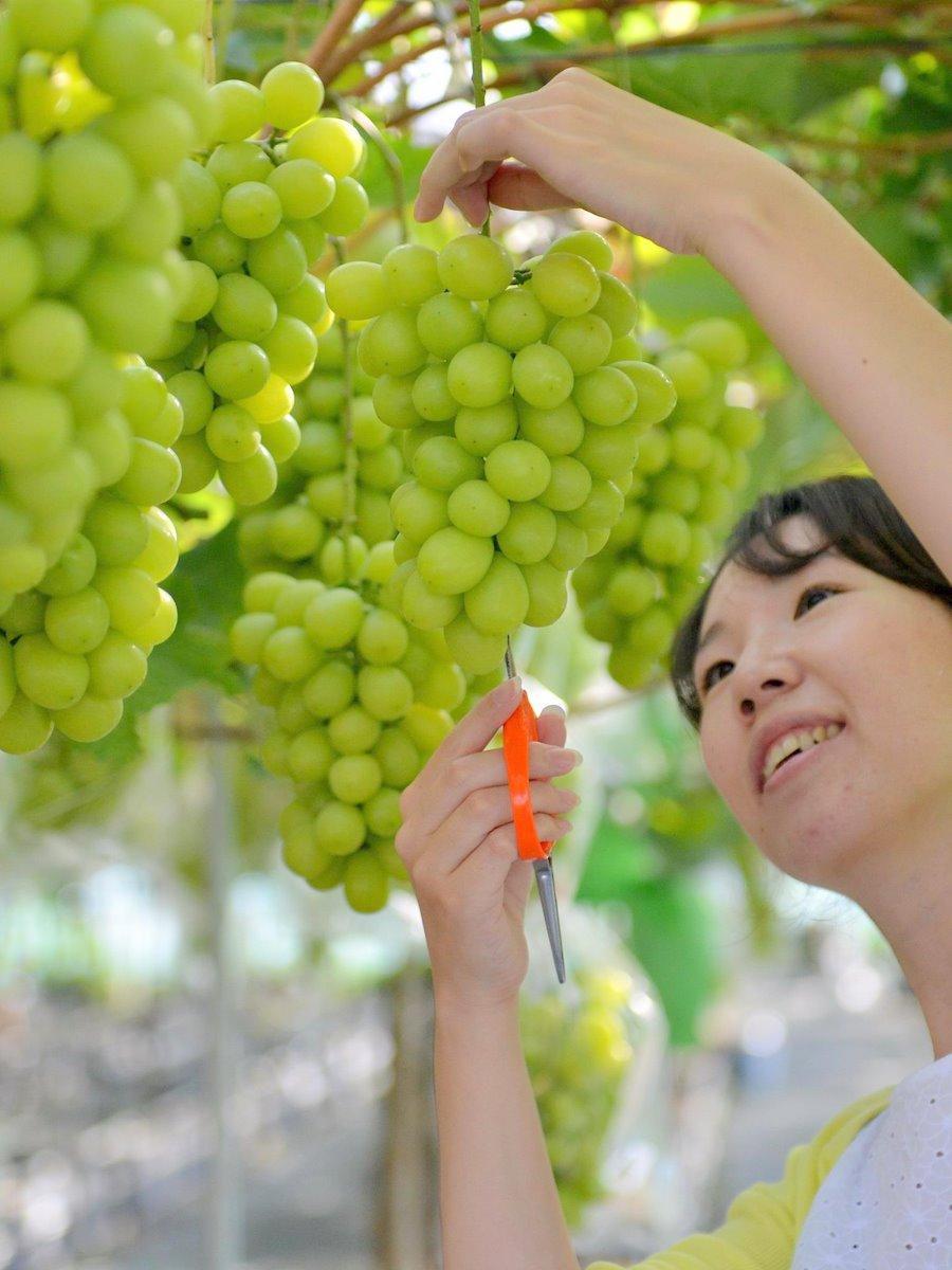 玉城町の水道事業者が多気町でブドウ栽培成功 糖度26度のシャインマスカット