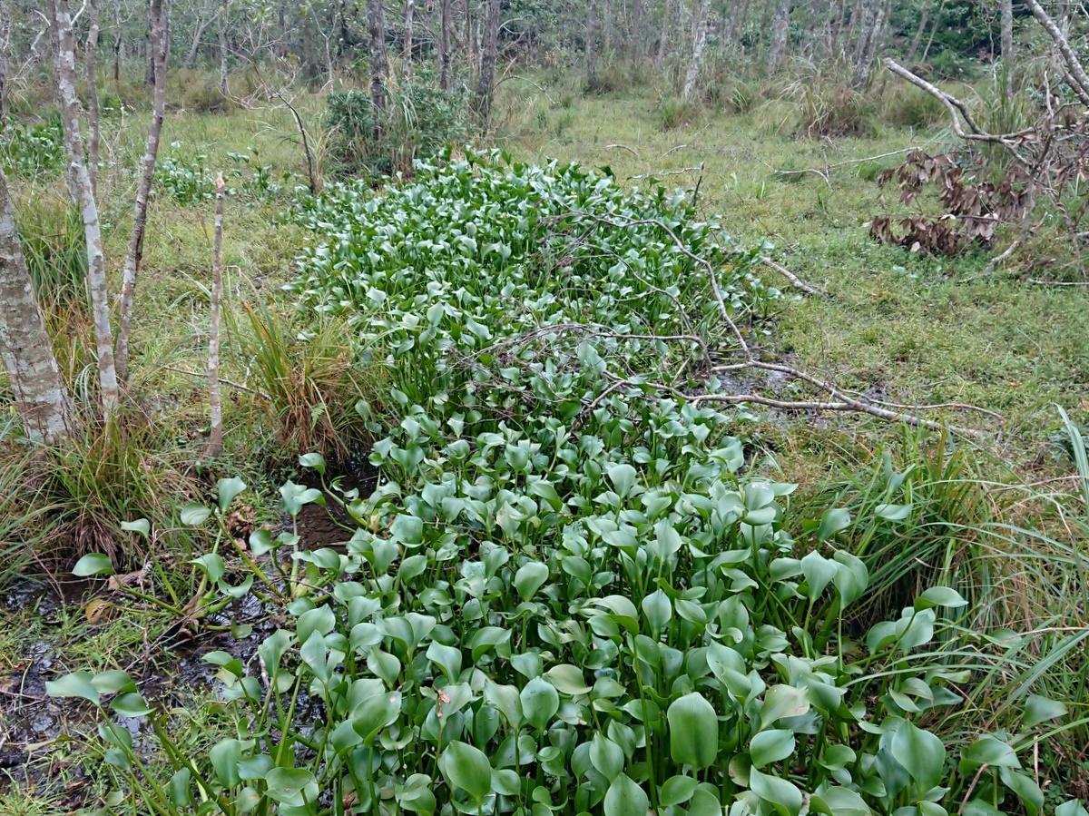 伊勢志摩国立公園の湿地からホテイアオイを駆除せよ 当日ボランティア募集