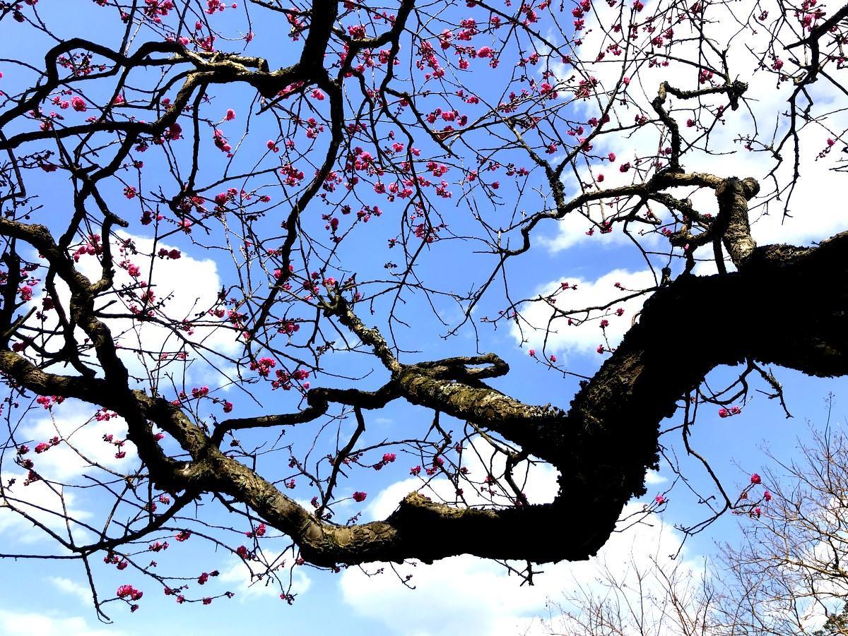 伊勢・朝熊岳金剛證寺奥の院でミキモト創始者の妻・うめの墓前のウメの花が見頃
