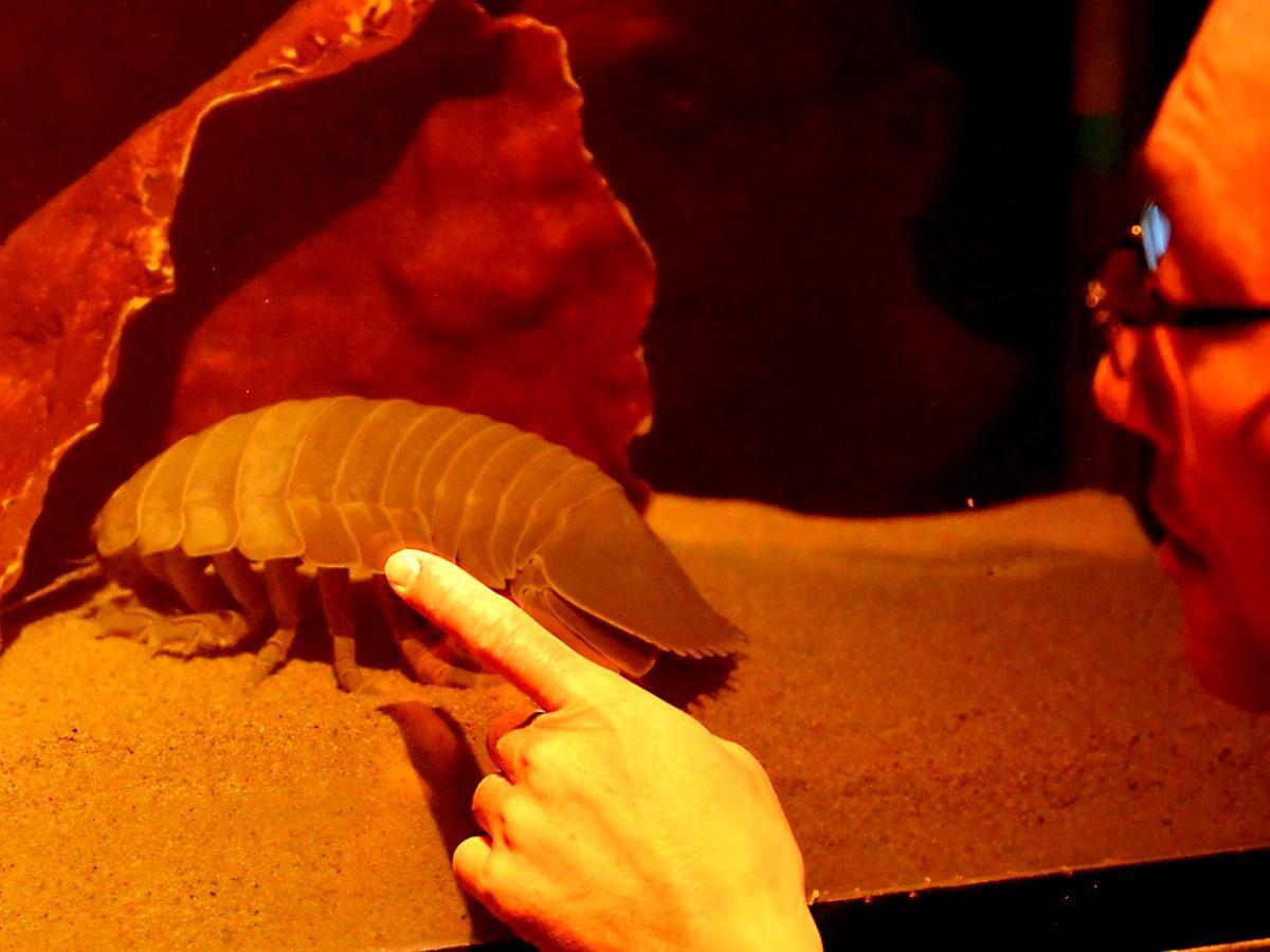 鳥羽水族館のダイオウグソクムシNo.23に脱皮の兆候 謎の生態解明に光