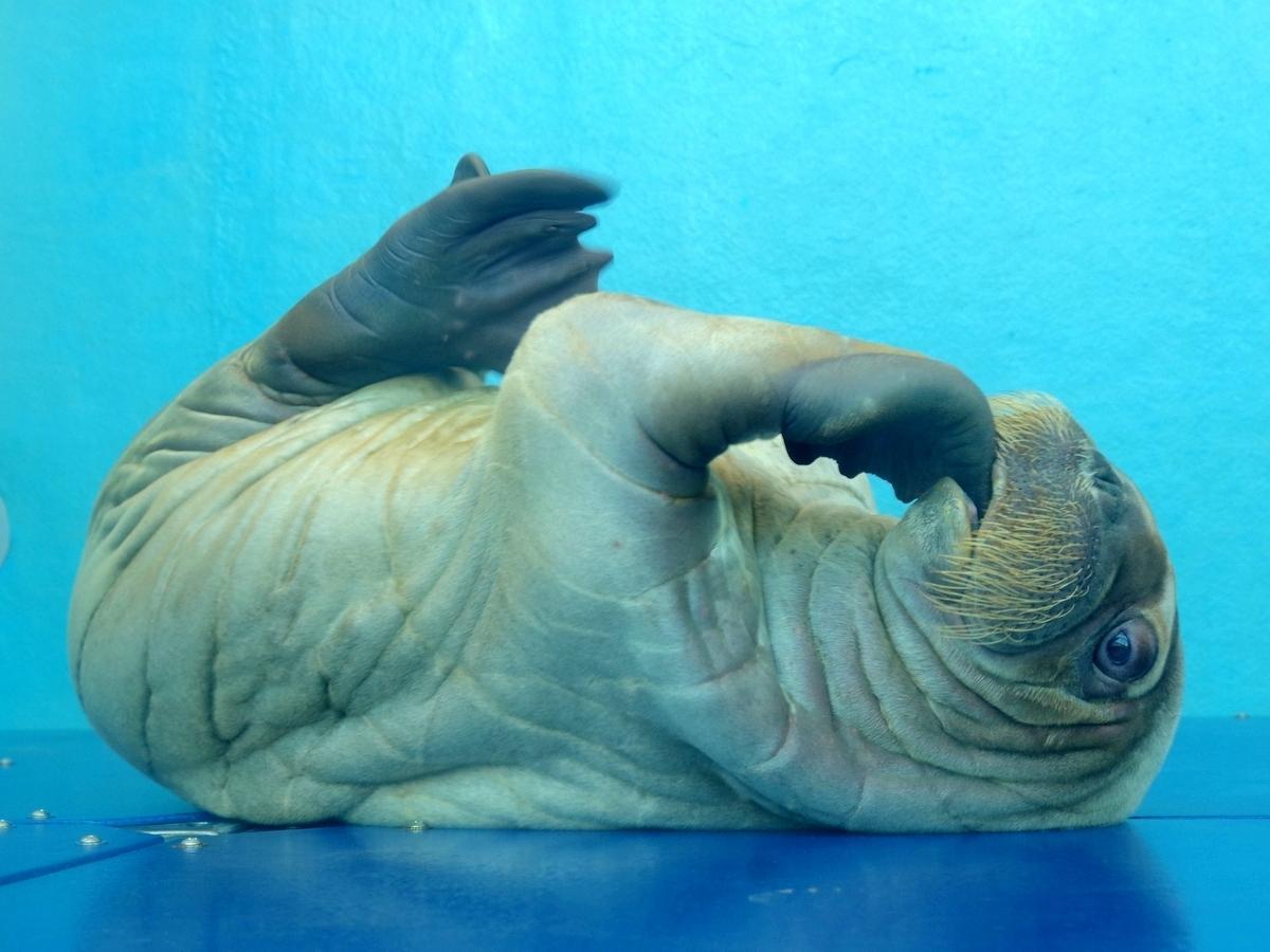 鳥羽水族館のセイウチに赤ちゃん 体重65キロでヒゲ面でも人間の赤ちゃんと同じ仕草(撮影=岩咲滋雨)