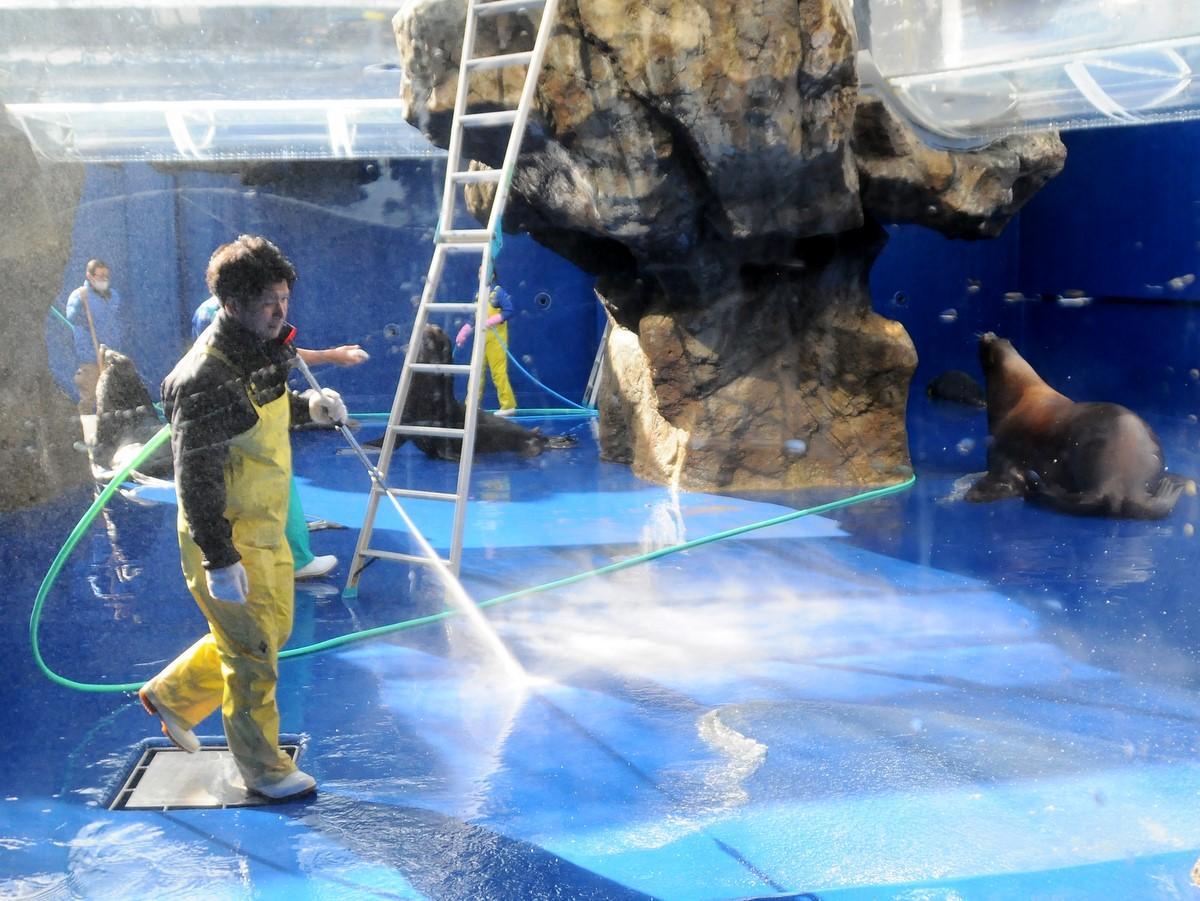 鳥羽水族館で年末恒例の大掃除 体重700キロ、逃げまわるトドの「キンタ」