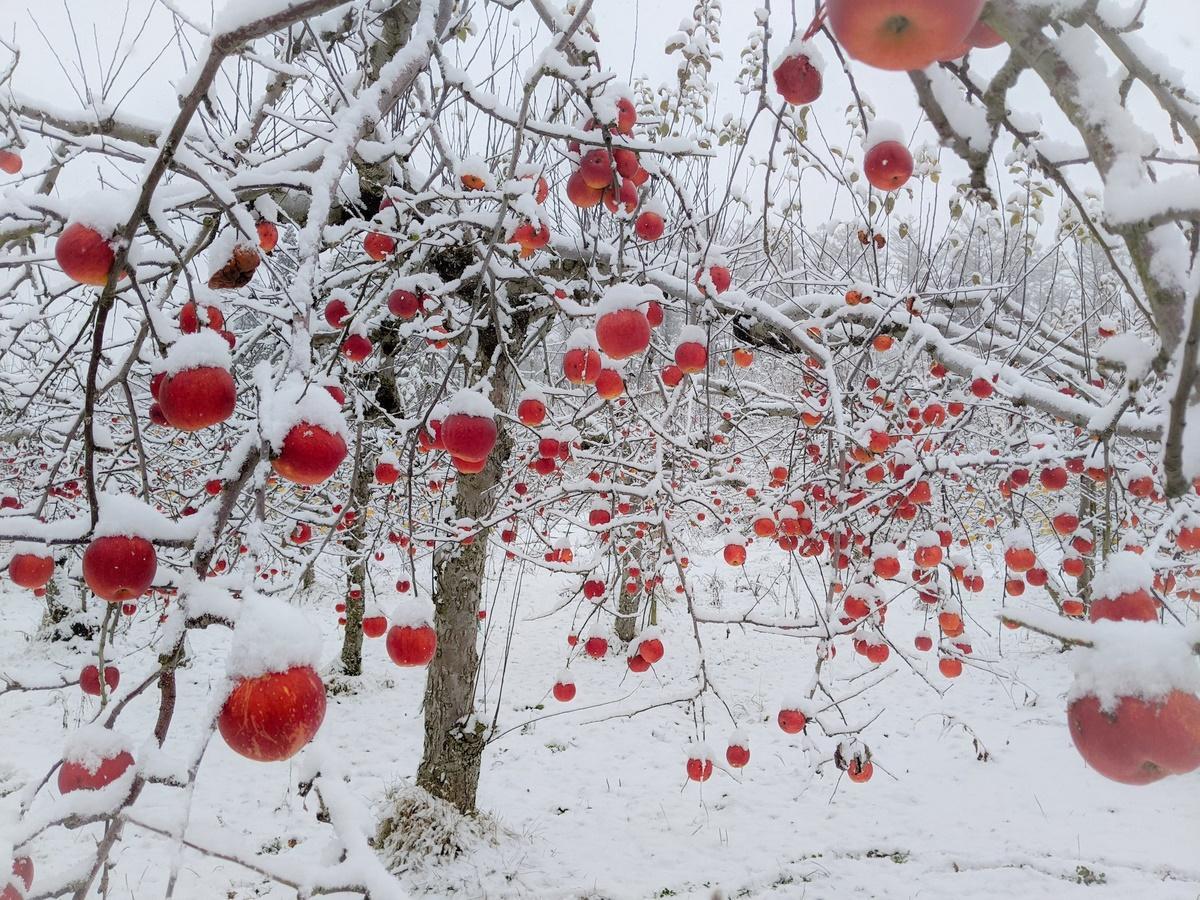 伊勢角屋麦酒、積雪被害でバズった長野のリンゴを「ホップドシードル」に(写真提供=神藤裕太さん)