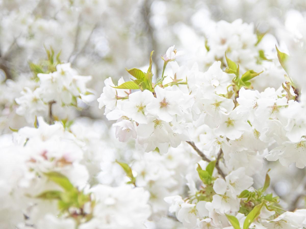 志摩市の樹齢360年以上の一本桜「岩戸桜」 人里離れた山の中で純白の花満開に(撮影=岩咲滋雨)