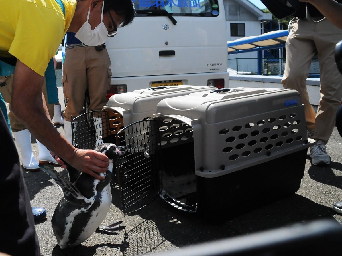 今年3月に閉園した志摩マリンランドのペンギン、鳥羽水族館にお引越し