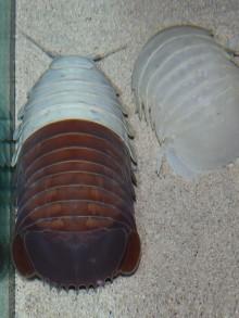 鳥羽水族館のダイオウグソクムシNo.23死ぬ 「飼育・観察下での完全脱皮」ならず