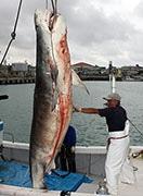 石垣で巨大イタチザメが次々水揚げ-初日は25匹を駆除