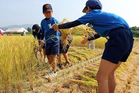 チームワークで稲を刈り取る児童たち