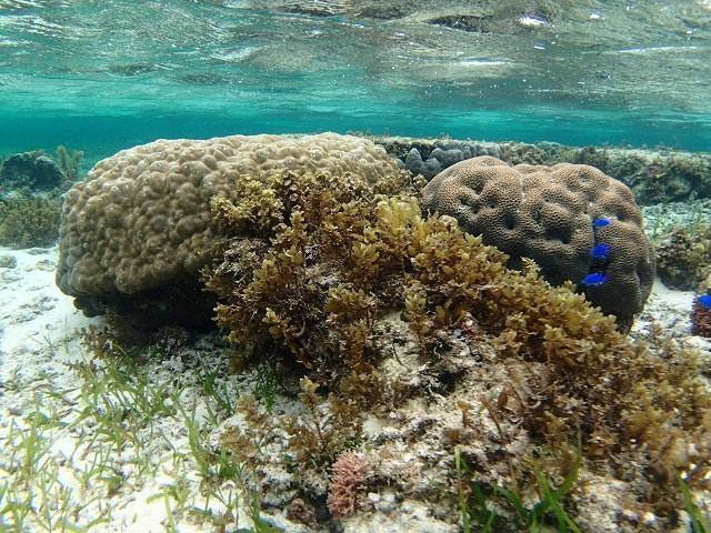 ダメージから耐え抜いて生き続けている石西礁湖のサンゴ(C)WWF Japan