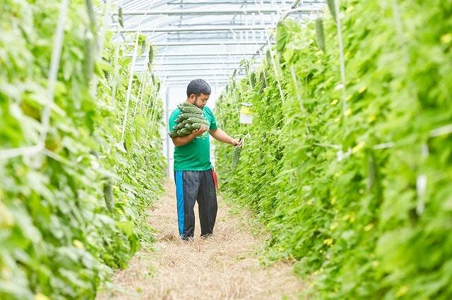 石垣島最大のゴーヤ収穫量を誇る「花谷農園」