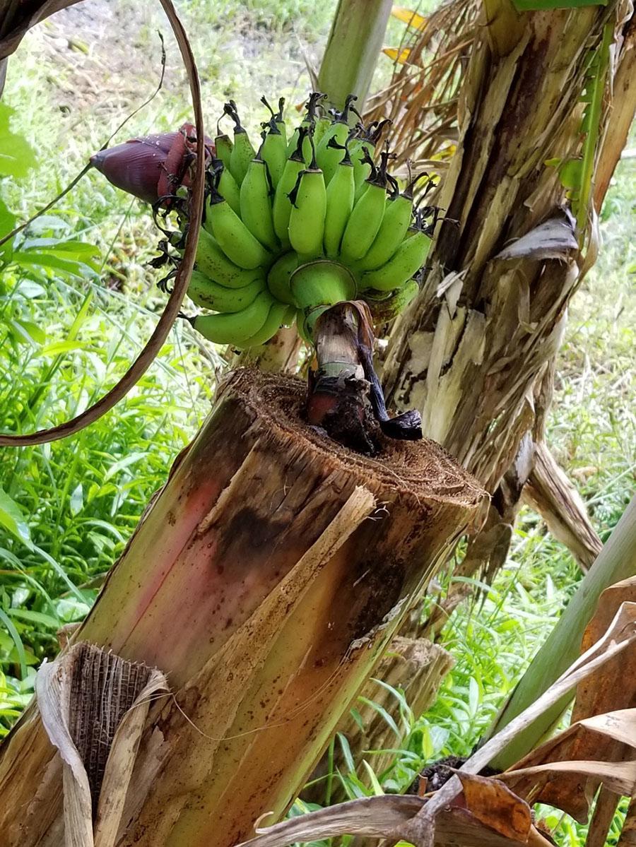 石垣島の台風を生き残った「根性バナナ」