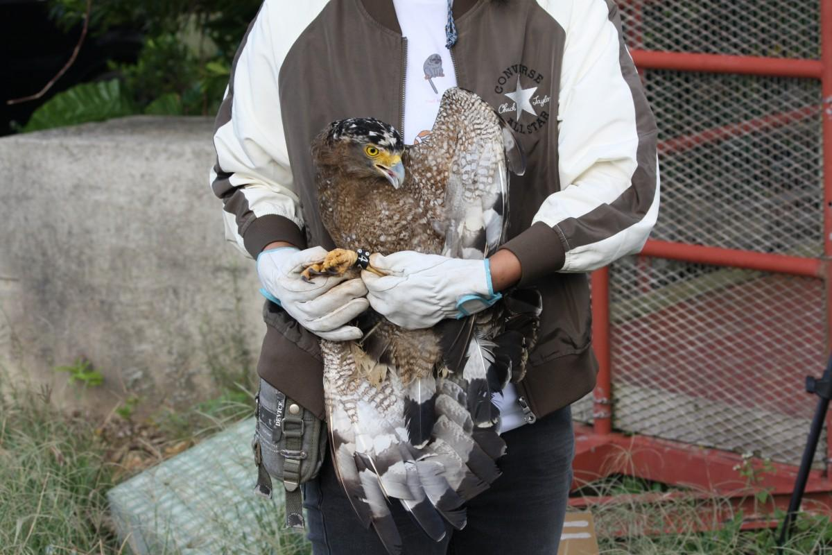 11月28日に放鳥されたカンムリワシのココ(環境省石垣自然保護館事務所提供)