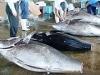 本マグロ漁が最盛期-漁獲量は昨年よりも上昇傾向に