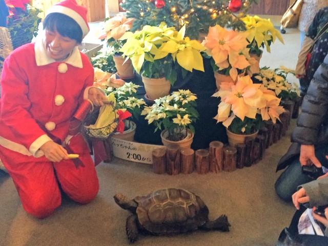 ビルマムツアシガメ、ムッちゃんのクリスマスツリー点灯式(前回の様子)