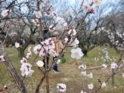 赤塚で梅まつり 600本の梅見ごろ、赤塚城戦国絵巻武者行列など