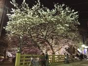 板橋十景「板橋」の桜がライトアップ 歴史ある商店街の夜にも活気