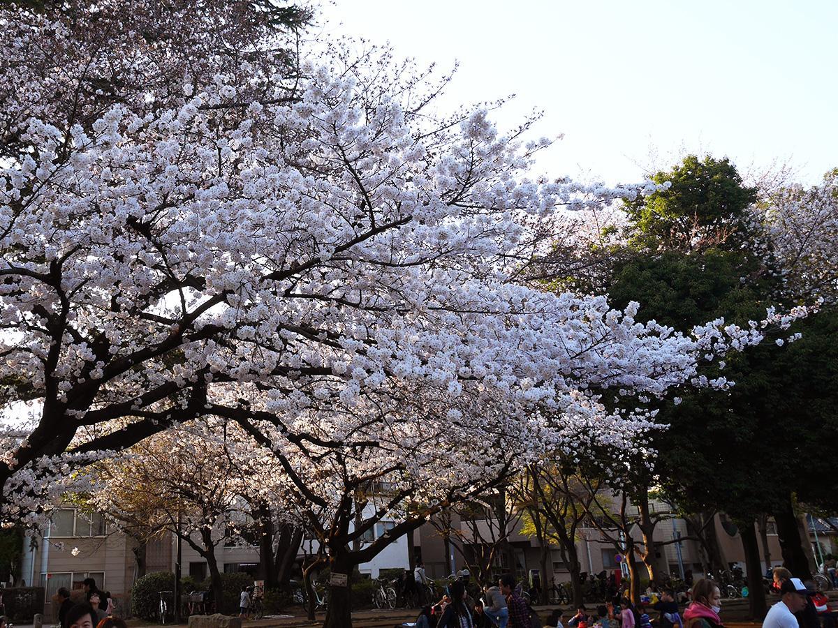 25日に平和公園で行われた「常盤台桜まつり」の桜