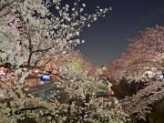 夜桜ライトアップで「光学の板橋」PR 「SORAA」製LED採用
